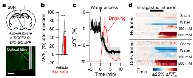 Supraoptic nucleus (SON) vasopressin neurons are rapidly inactivated by drinking (panel C), and bidirectionally regulated by gut fluid osmolarity (panel d). The heat maps in (d) show the activity of these neurons where warmer colors represent higher activity. Note that increases in fluid salt content (150 mM to 500 mM) causes stepwise increases in neural activity. (Credit: Zimmerman et al., 2019).