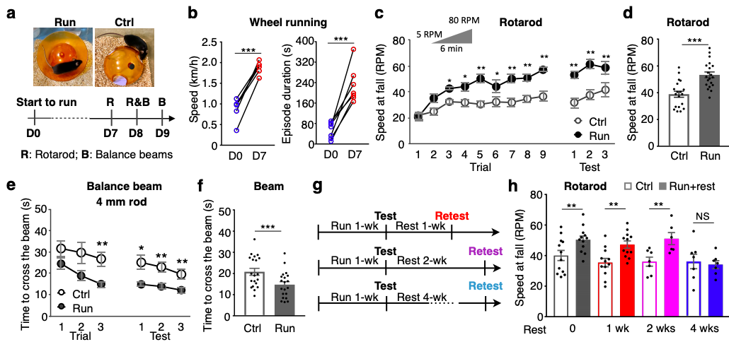 One week of running training induces motor learning, an effect that lasts at least 2 weeks post-training. (Credit: Li & Spitzer, 2019)