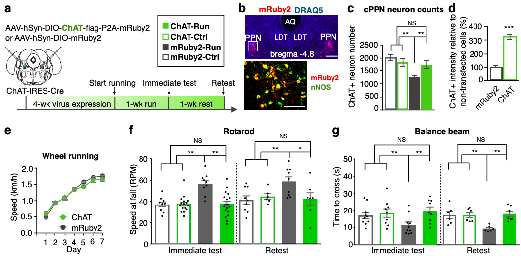 Viral-mediated prevention of neurotransmitter switching (via upregulation of ChAT expression) prevents motor learning following a running task. (Credit: Li & Spitzer, 2019).