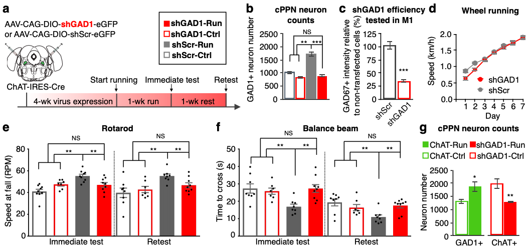 Prevention of the Acetylcholine/GABA switch during training prevents motor learning. Using a short-hairpin targeting GAD1 (shGAD1) to knock down it's expression in ChAT+ neurons in the PPN, the authors demonstrate that without increased levels of GABA in response to running, the mice no longer learn this task. (Credit: Li & Spitzer, 2019)