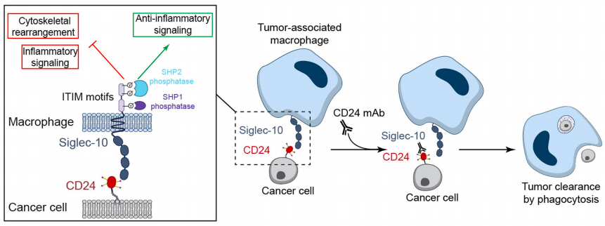 Figure 5 : Mechanism of cancer cell destruction by tumor associated macrophage through blockade of CD24 - Siglec-10 signaling.