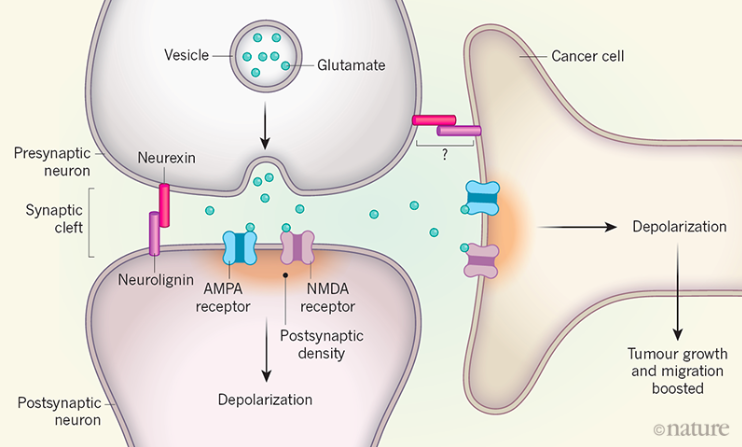 Neural activity promotes tumor growth and progression. Glutamate signaling depolarizes (activates) tumor cells that are 'listening in' on normal neural communication. (Credit:    Barria, 2019   ).