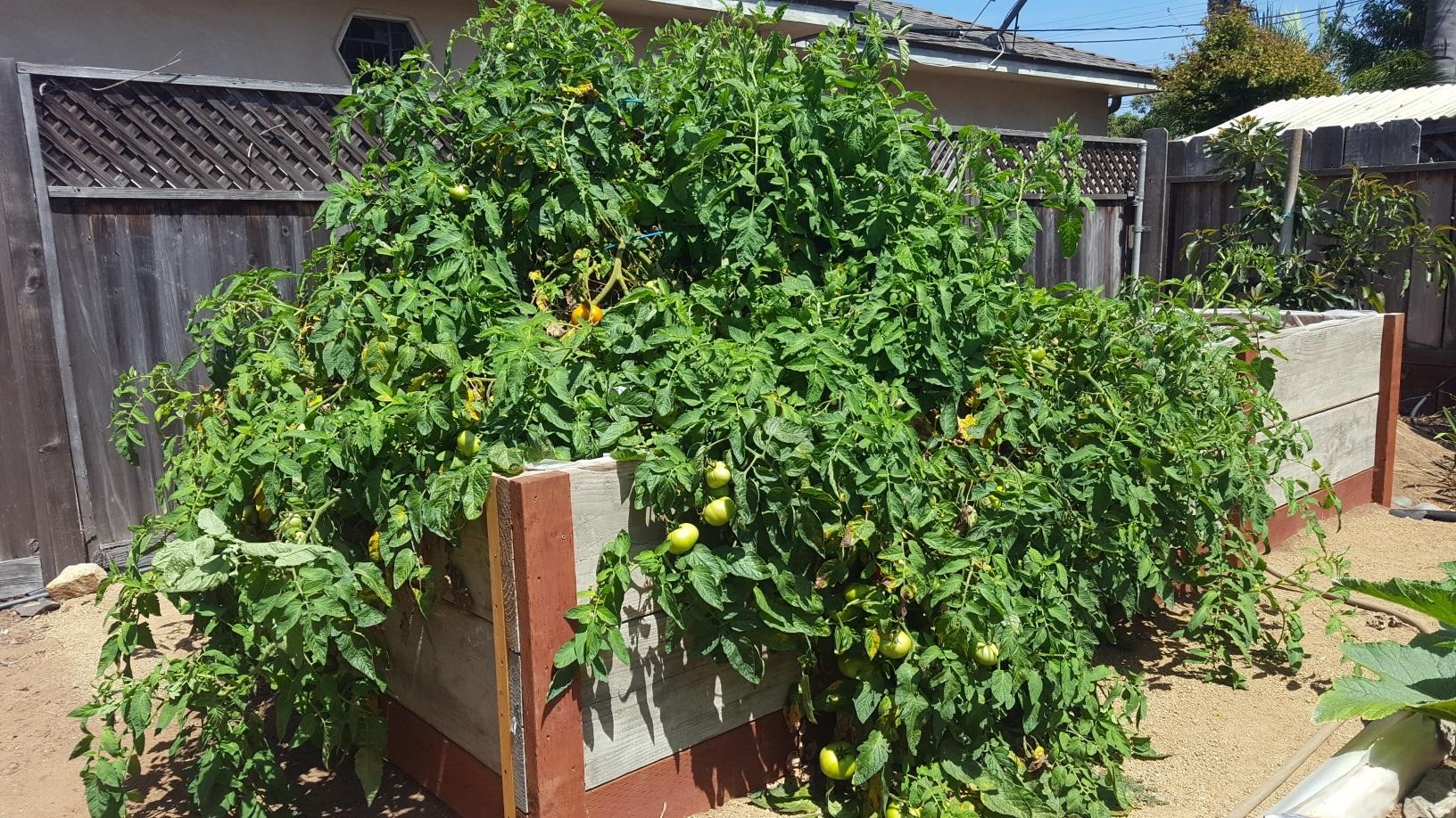 John Fuss, Sr., Child Welfare Services- Polinsky Children's Center, Grows Tomatoes.