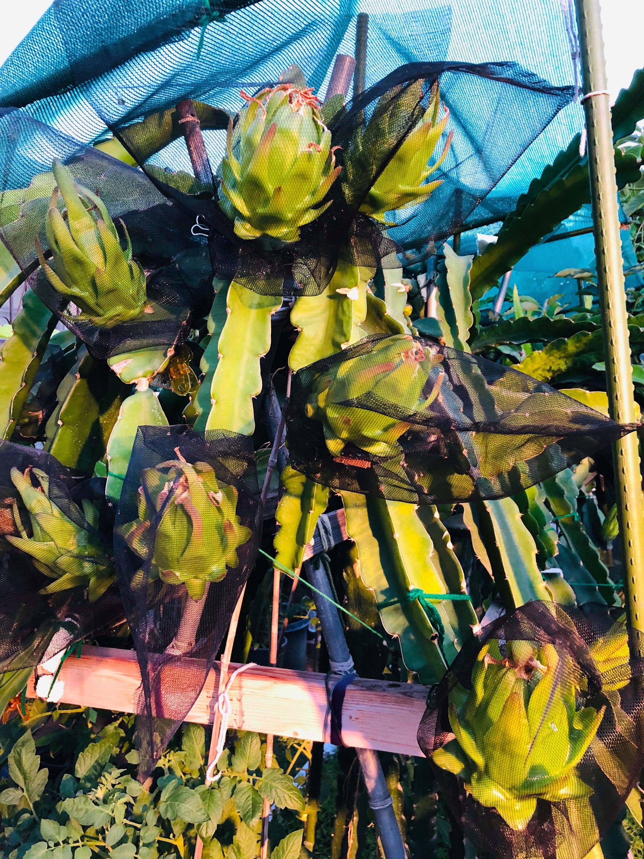 Joann Fang,   Department of Environmental Health, Grows Dragon Fruit.