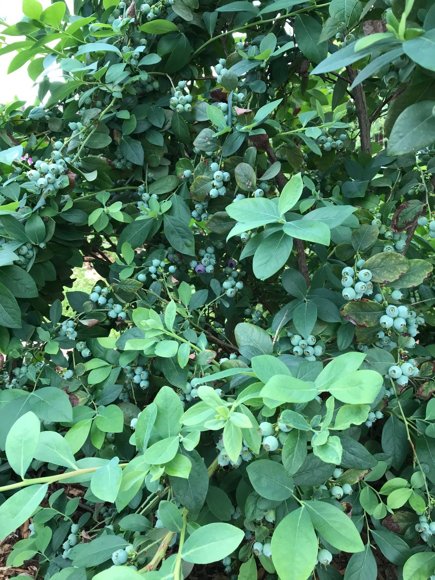 Nancy Wickus, Agriculture/Weights and Measures, grows Blueberries.