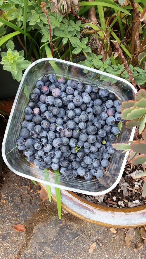 Anne ulm, Probation department, grows Blueberries, oregano and garlic chives