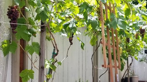 Zulim Obispo, Child Support Services, grows grapes