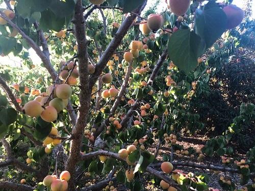 Lauren Brookshire, HHSA, grows Peaches