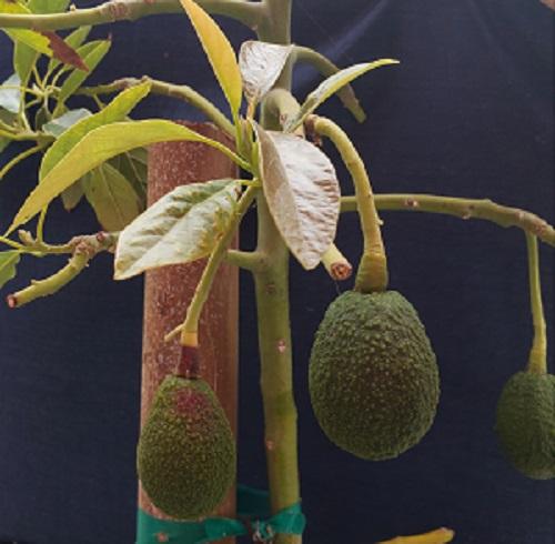 Ricardo Rodriguez, HHSA Business intelligence, grows avocados
