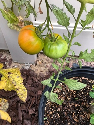 Luchie Delino, Child Welfare Services, grows tomatoes