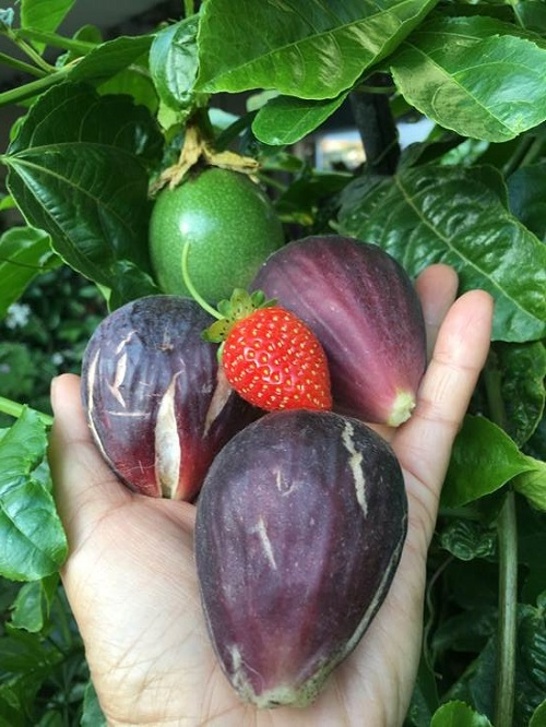 Nanette Encarnacion, DPW, grows figs, strawberries and more.