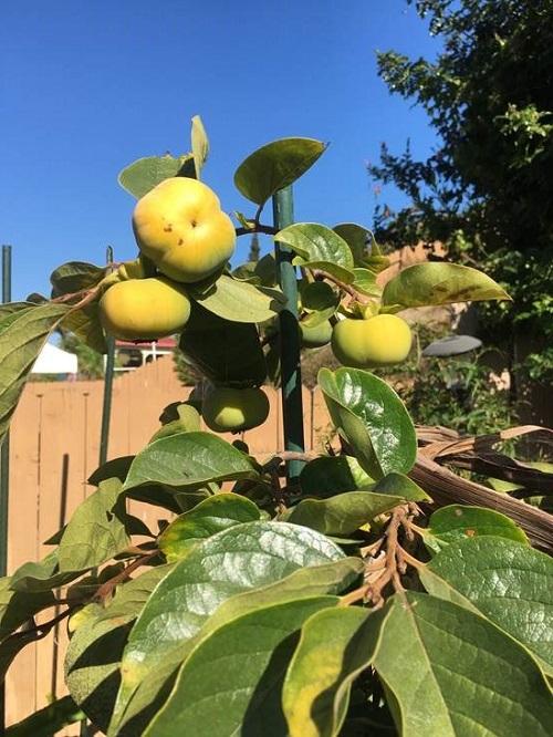 Nanette Encarnacion, DPW, grows persimmons
