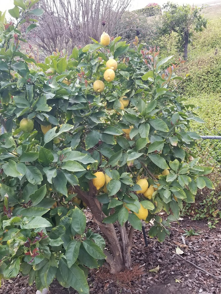 Harold Randolph, First 5 San Diego, Grows Lemons