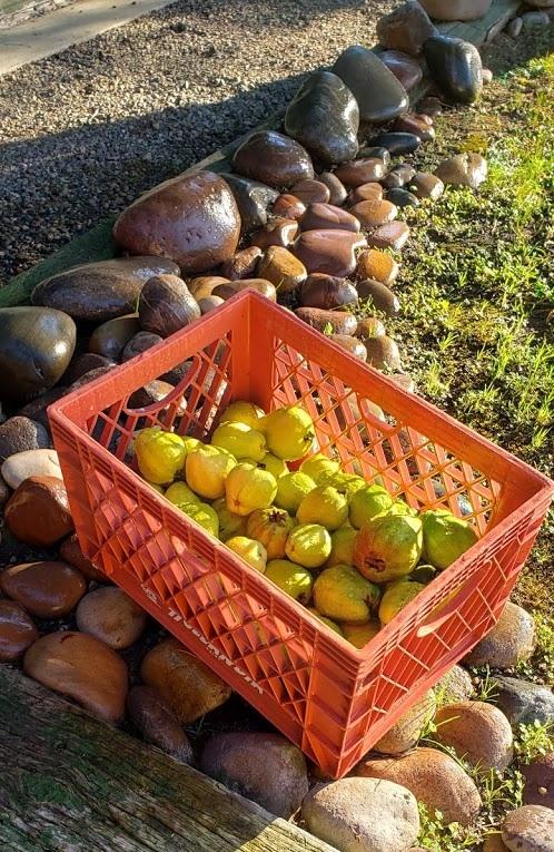 Harold Randolph, First 5 San Diego, grows guavas