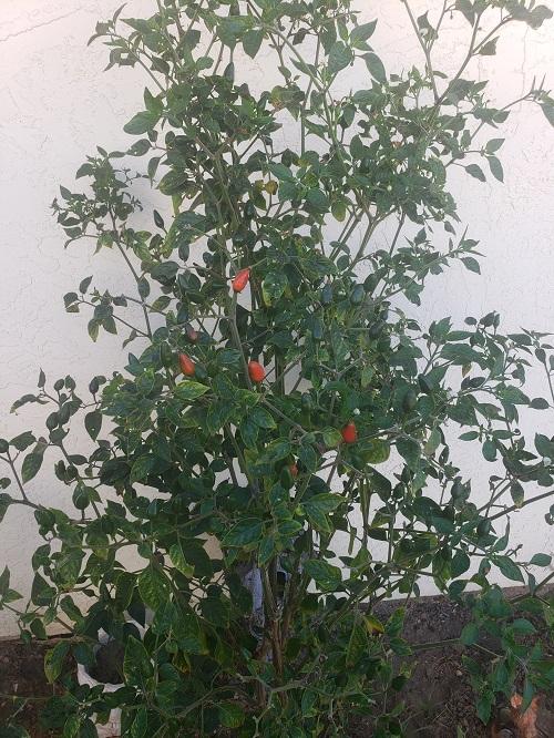 Valeria Orendain, Assessor/recorder/county Clerk, grows chile peppers