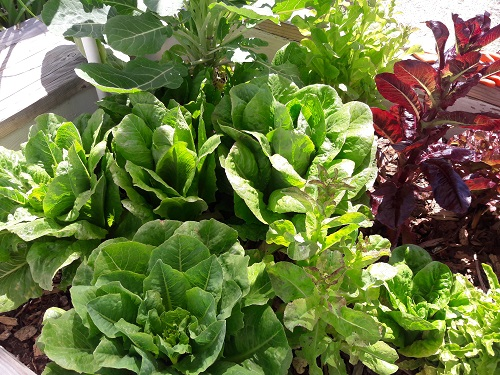 Lisa Futrell-Williams, child welfare services, grows various types of lettuce