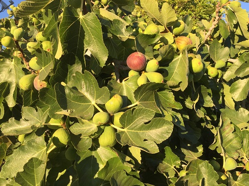 irene Chan, environmental health, grows figs in her front yard