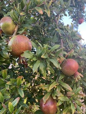 Vanessa Perez, Auditor & Controller, grows Pomegranate