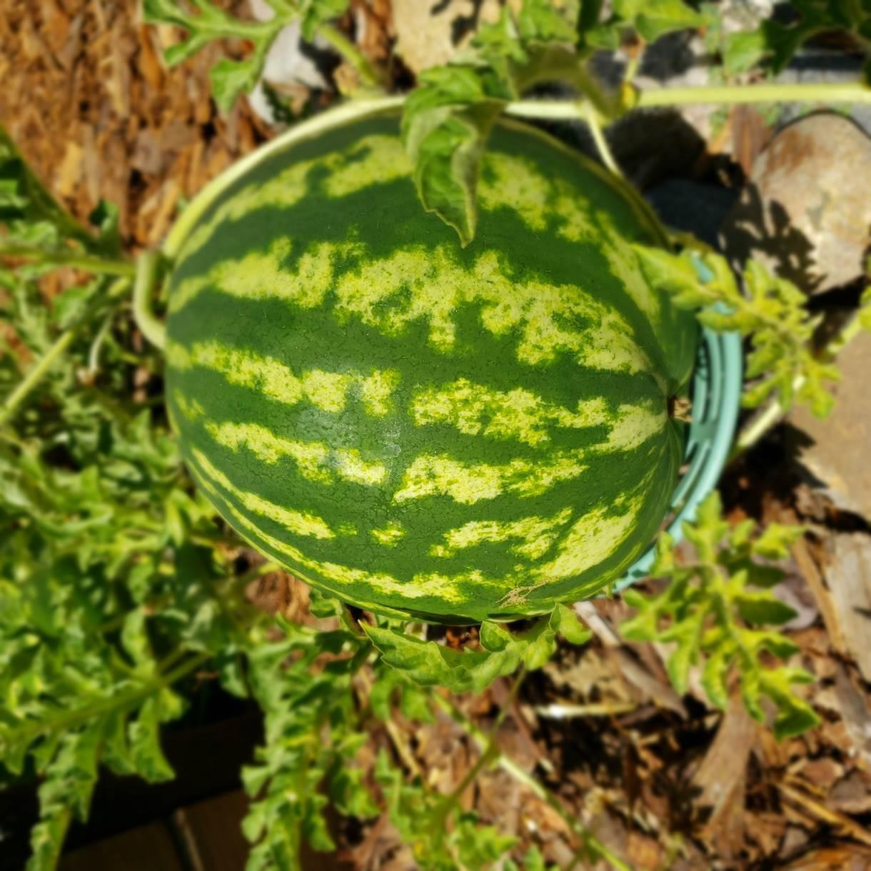 Rosella Perez, Treasurer-Tax Collector's Office, grows watermelon