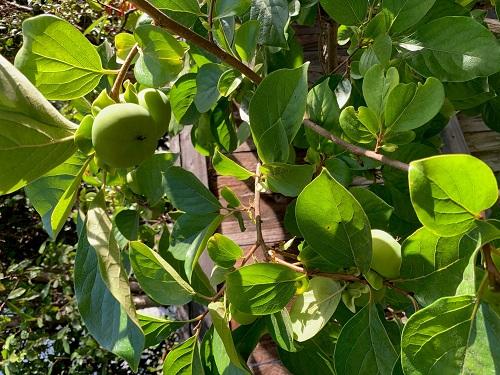 David Dat Mai, Child Welfare Services, Grows persimmons