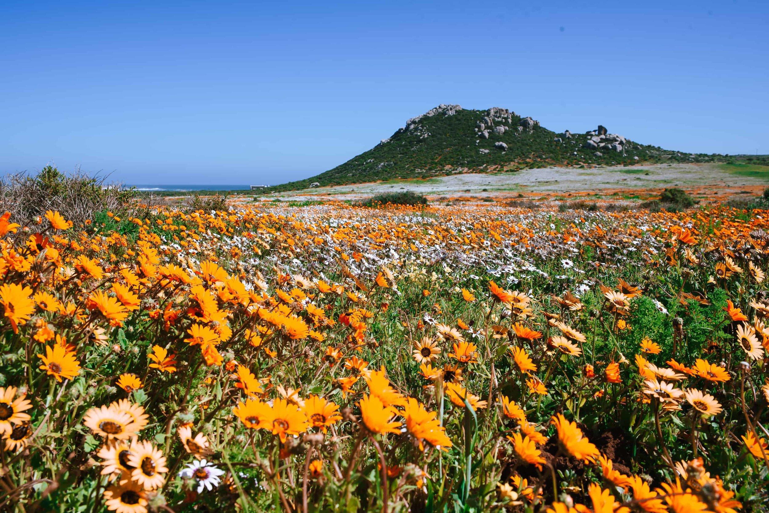 Wild Flowers at West Coast National Park (2)-min.jpg
