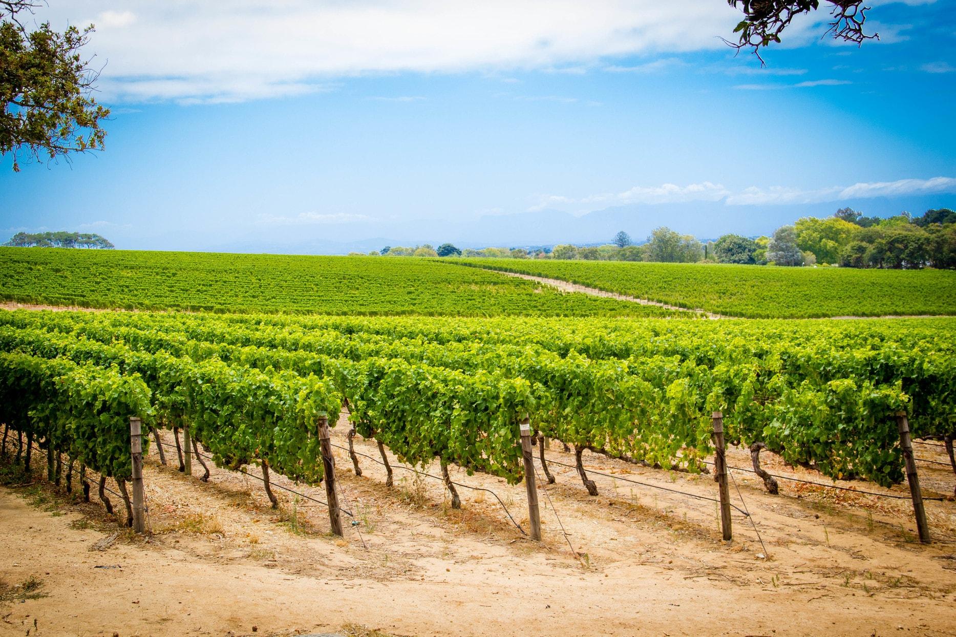 The beautiful green vineyards at Groot Constantia-min.jpg