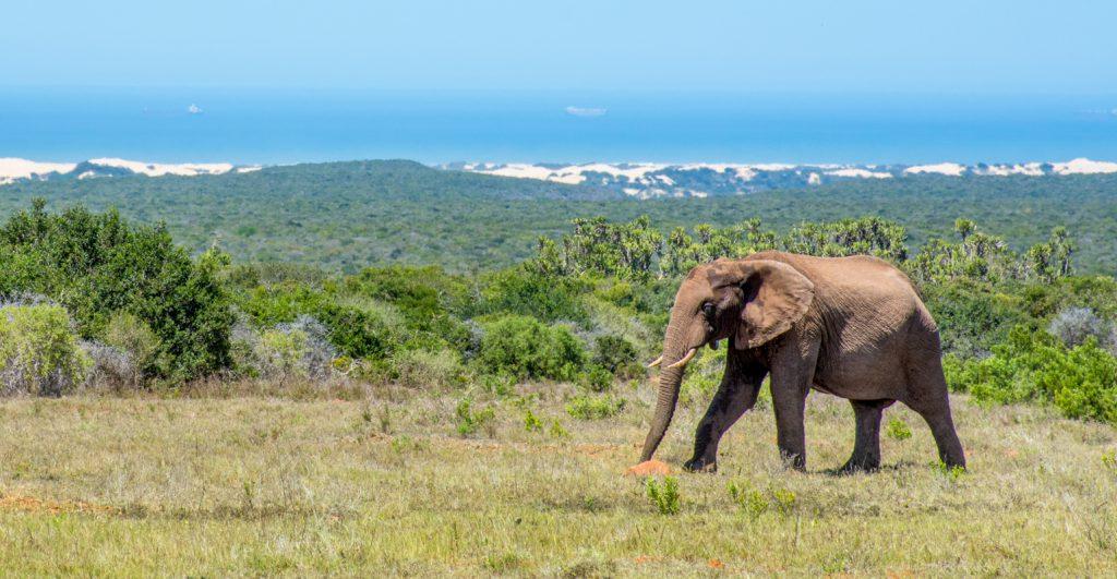 Agence_de_voyages_basée_en_Afrique_Tours_et_voyage_à_Cape_Town_et_les_vignobles_Voyage_de_noces avec_CapOuPasCap_Voyage_la_route_des_jardins_addo_elephant4.jpg