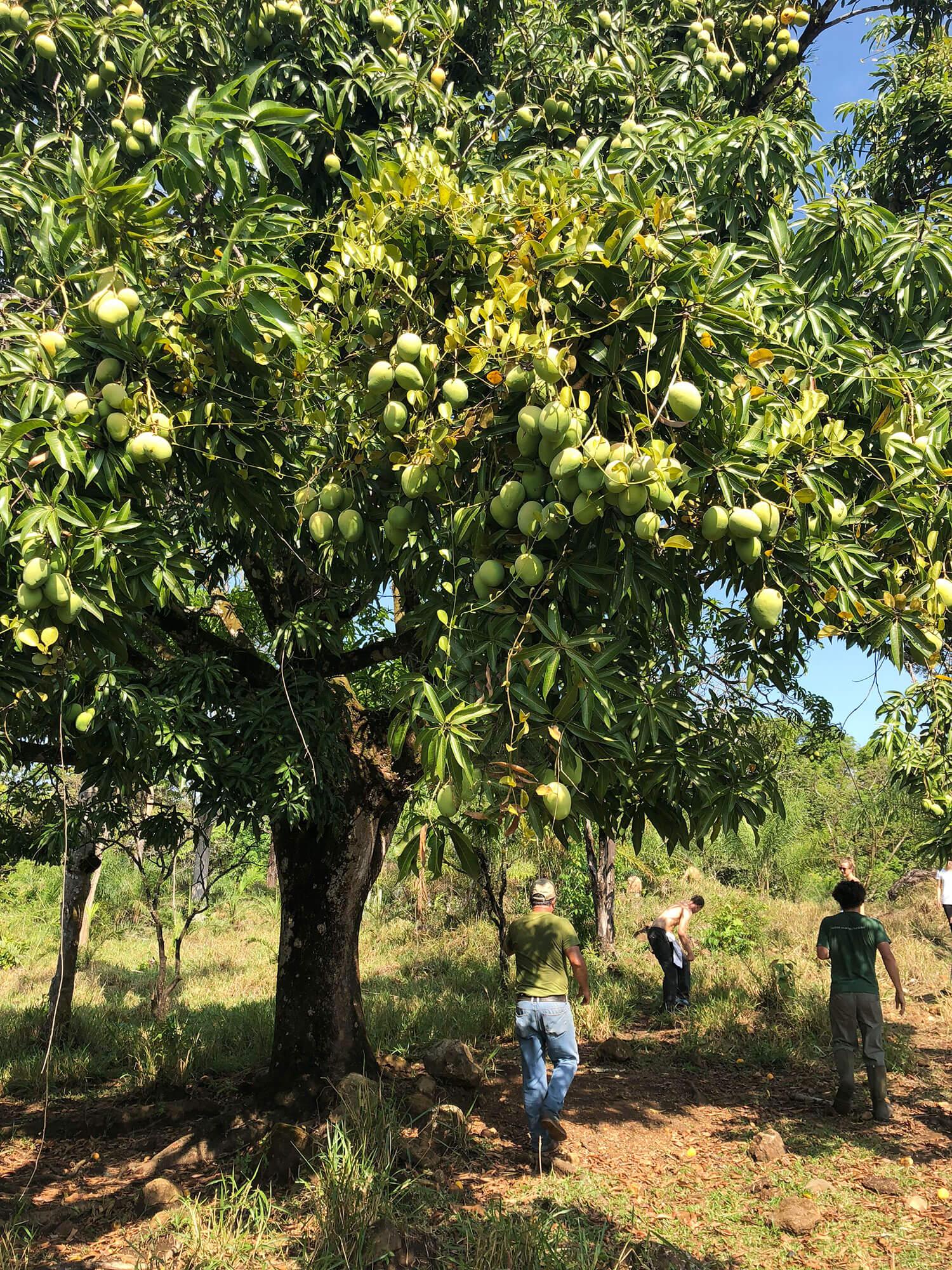the-land-mango-trees.jpg