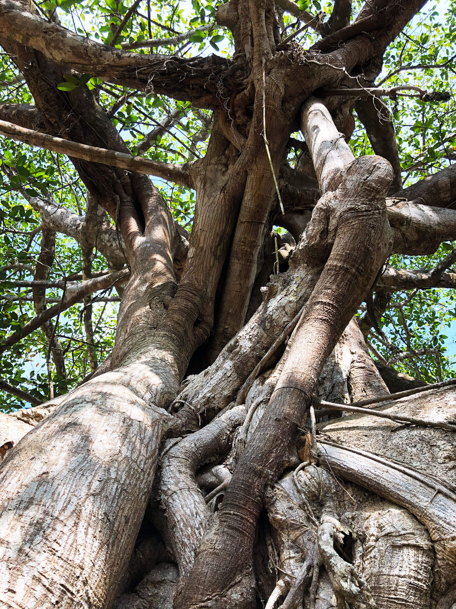 the-land-banyan-tree.jpg