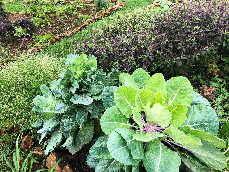 garden-cabbage.jpg