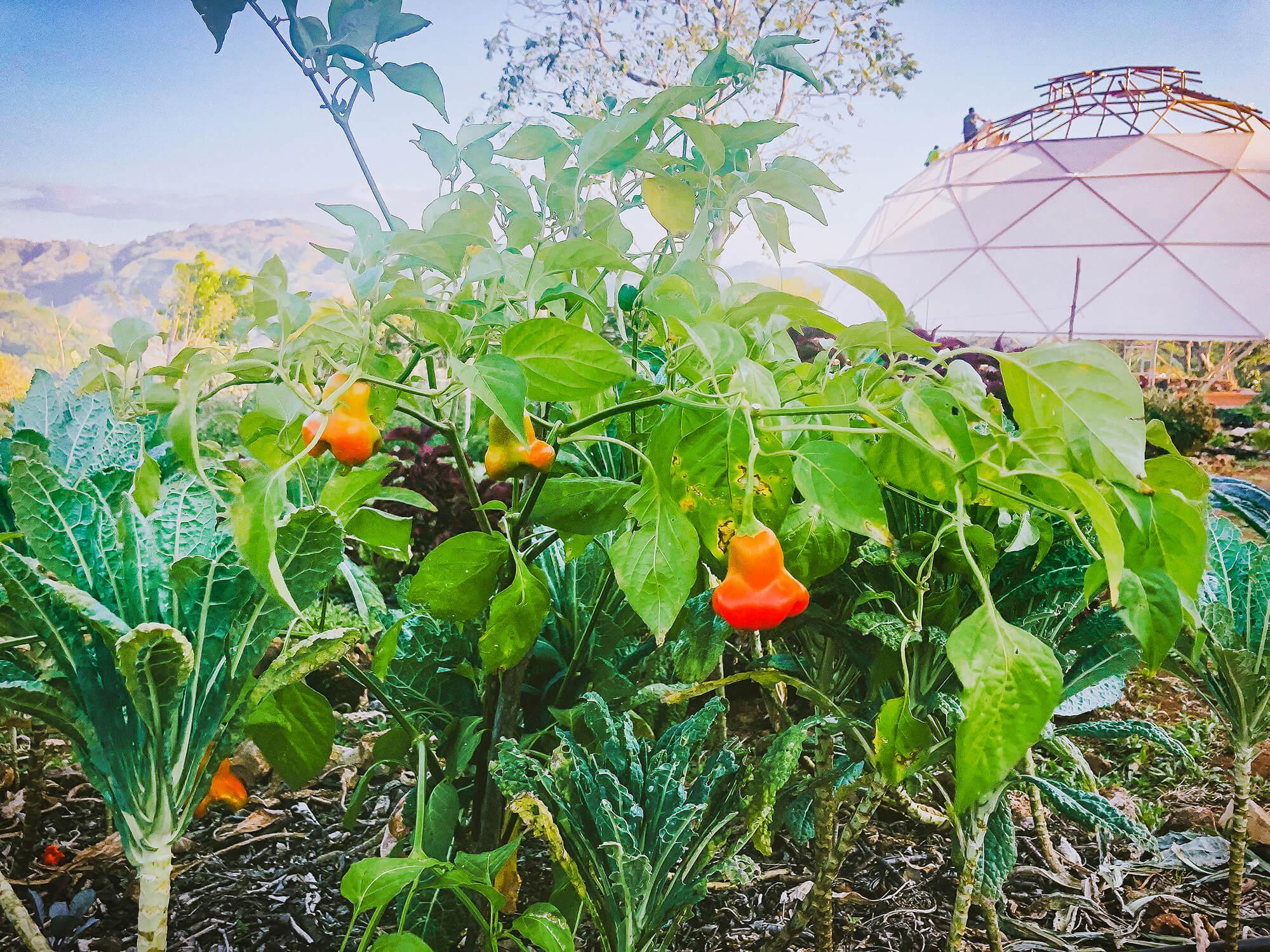 alegria-regenerative-farm-peppers.jpg