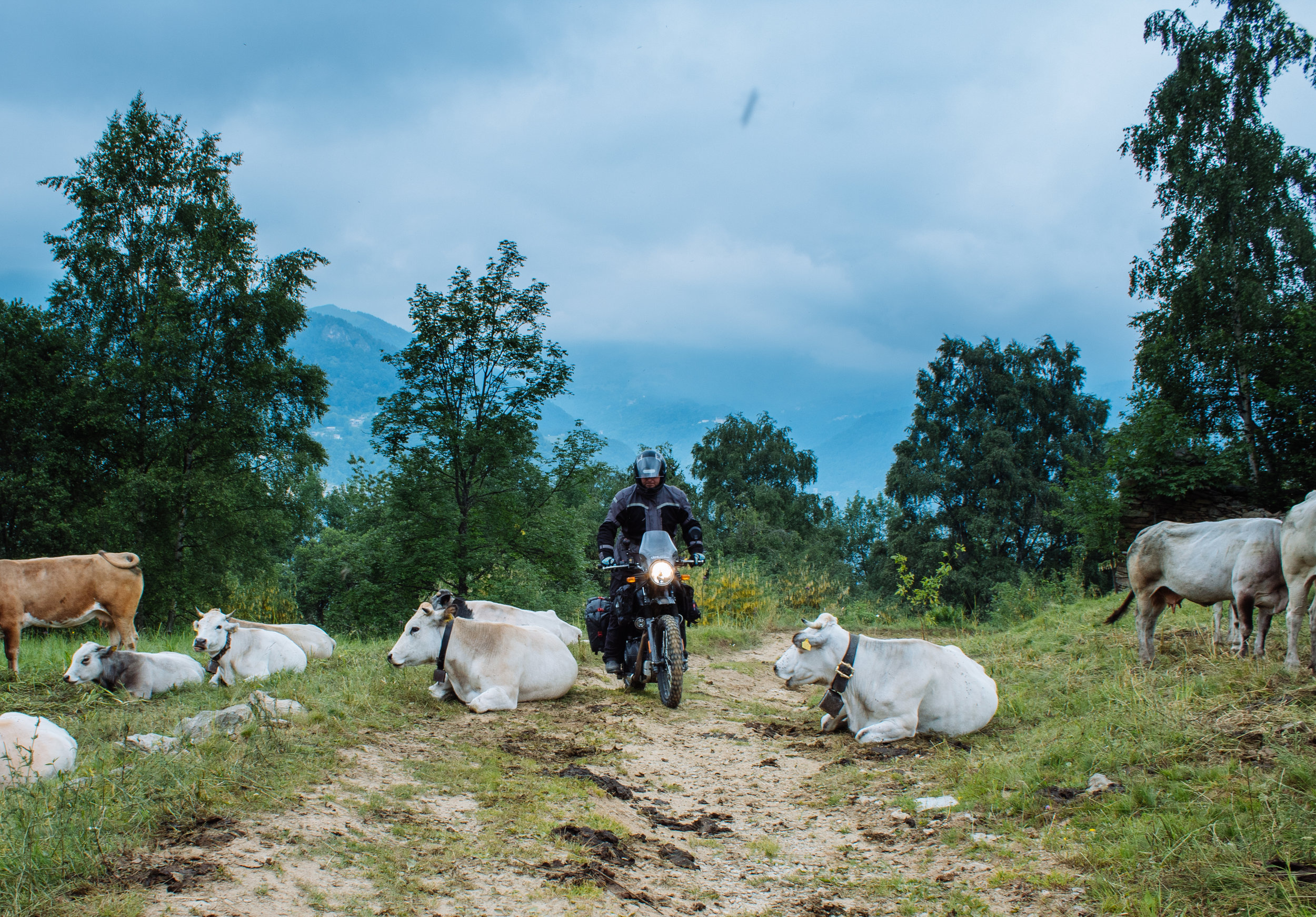 Cattle moves for nobody, not even motorbikes