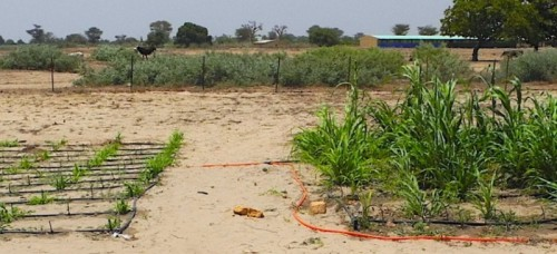 Millet grown without shrubs (left) next to millet grown with shrubs (right)
