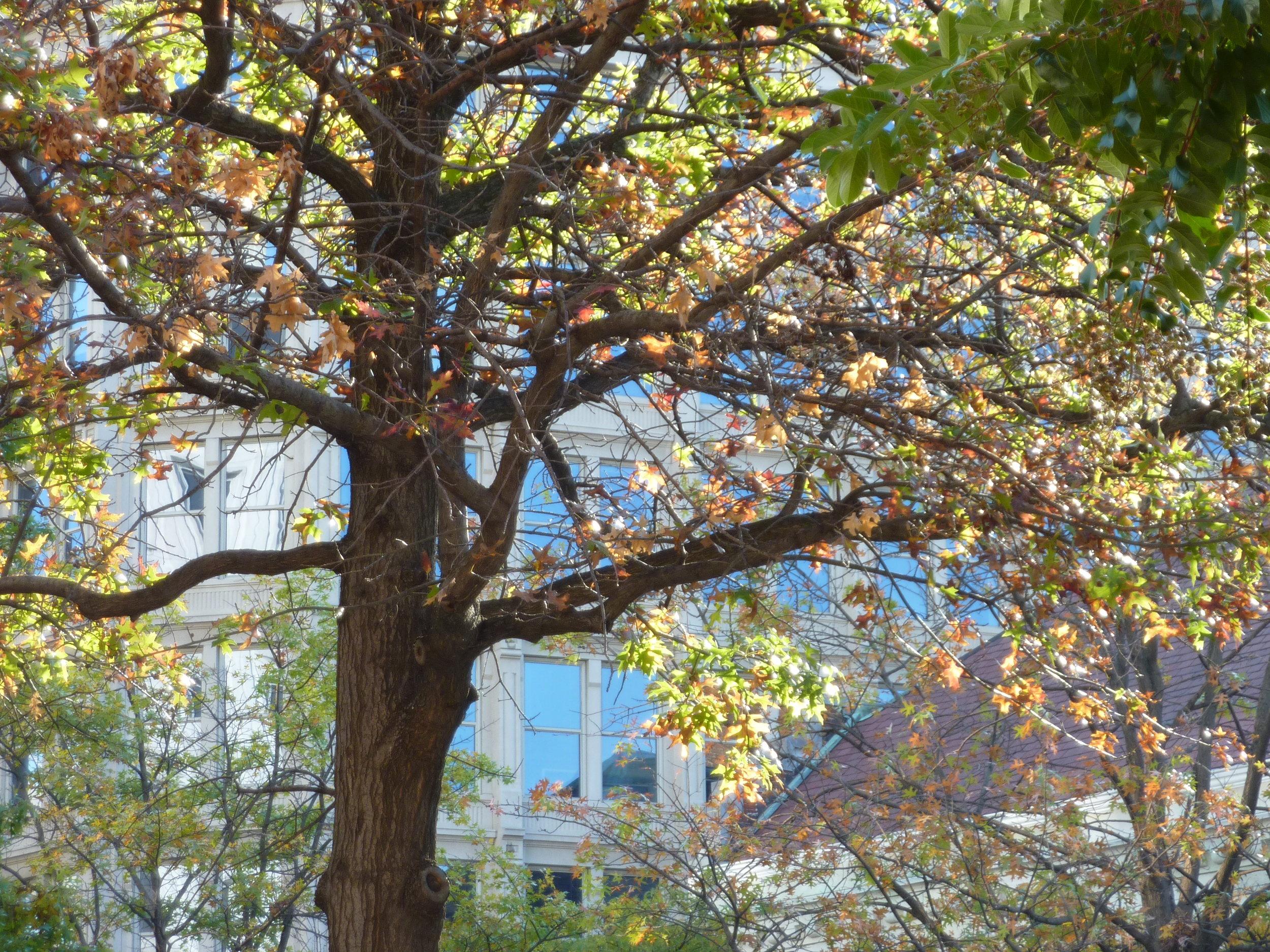 tree in DC.jpg