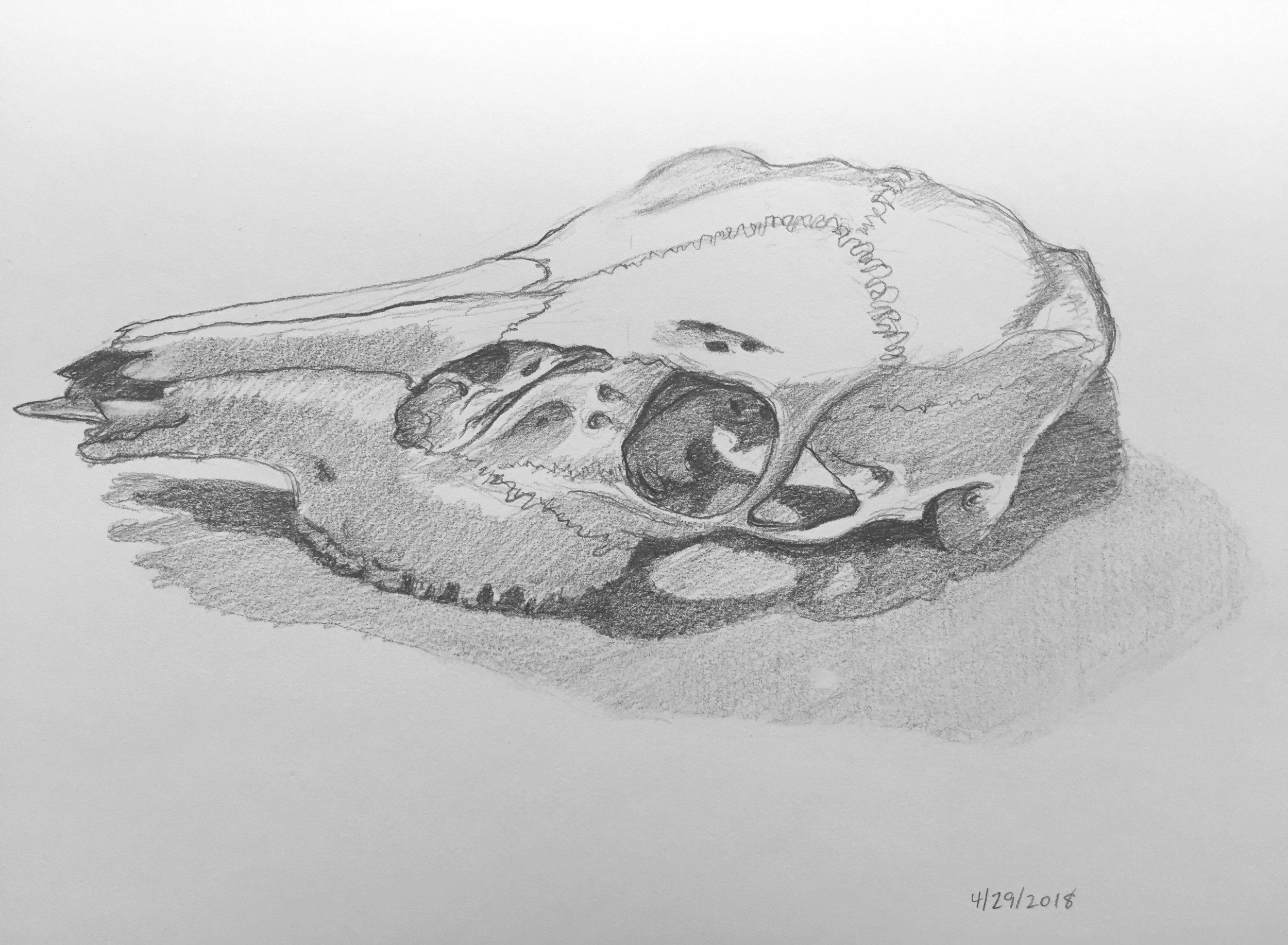 Deer skull.jpeg