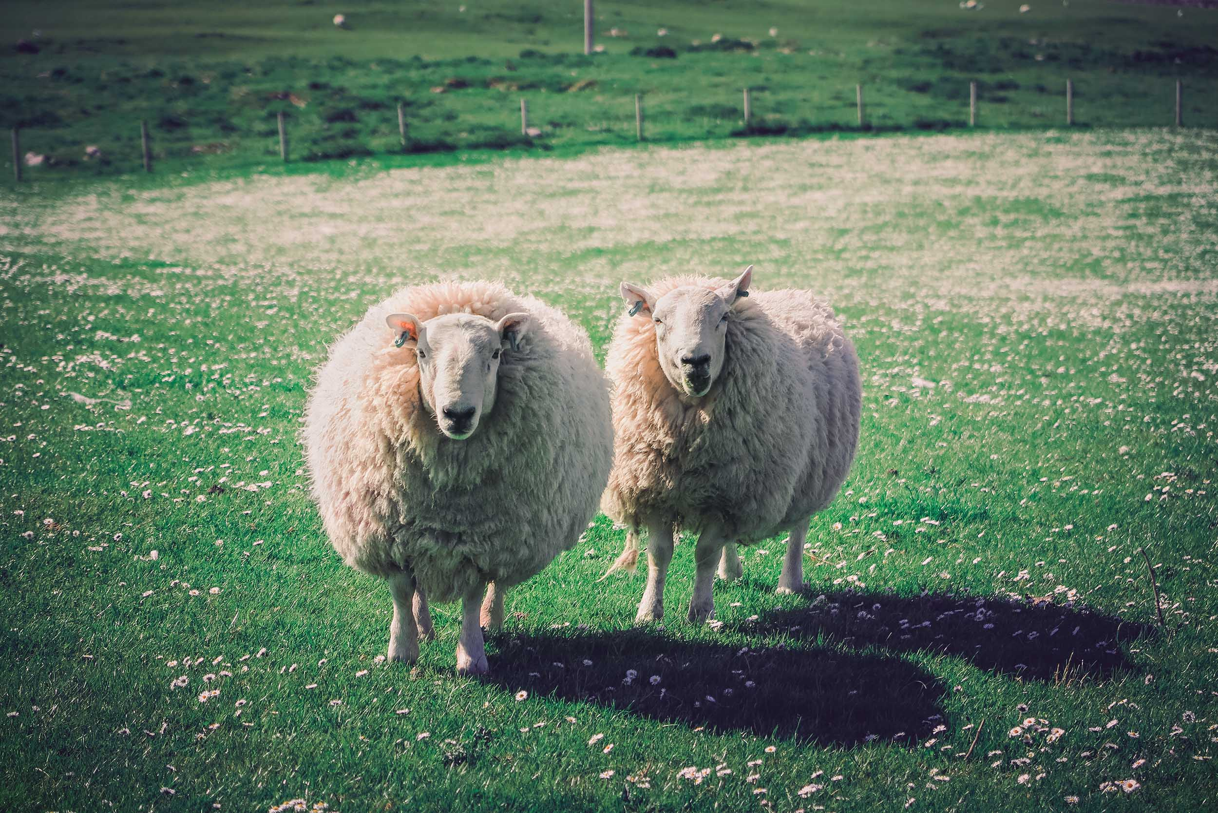 scottishsheep.jpg