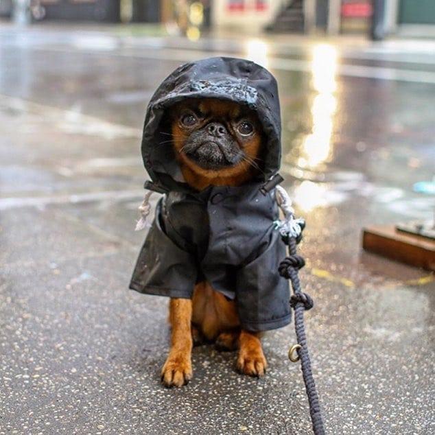 So much rain the past couple of days. Make sure your best friends are wrapped up warm ⛈️ . . . .  #brusselsgriffonpuppy #stormyweather #wet #rainraingoaway #barked #woof #dogsofbark #dogsofinstagram  #puppiesofinstagram  #adogisforlife #adoptdontshop #aninalwelfare #aninalshelter #puppy #puppies #paros #greece #greekislandlife  #dog #dogs  #weeklyfluff  Reposted from @grumpygriffons
