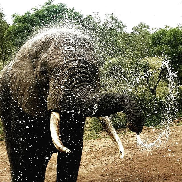 ...time for a shower..... #ulusabaprivategamereserve #ulusaba #elephants #ivorywhite #waterislife #sirrichardbransonsprivategamereserve  #sabisands #safarilodge #travelphotography #itsafranciproject