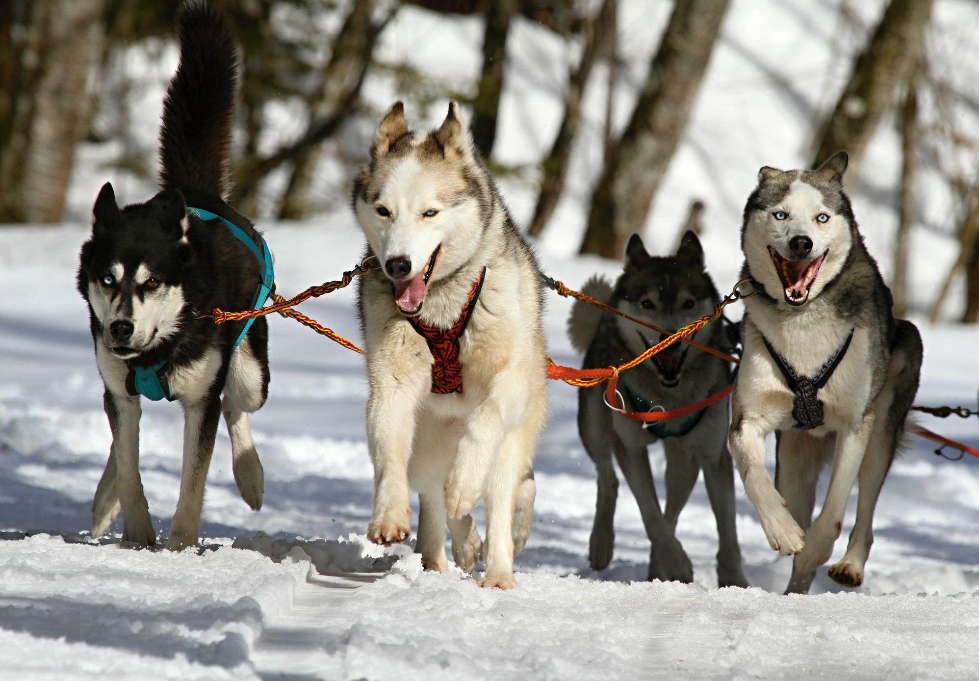 huskies-273409_1920.jpg