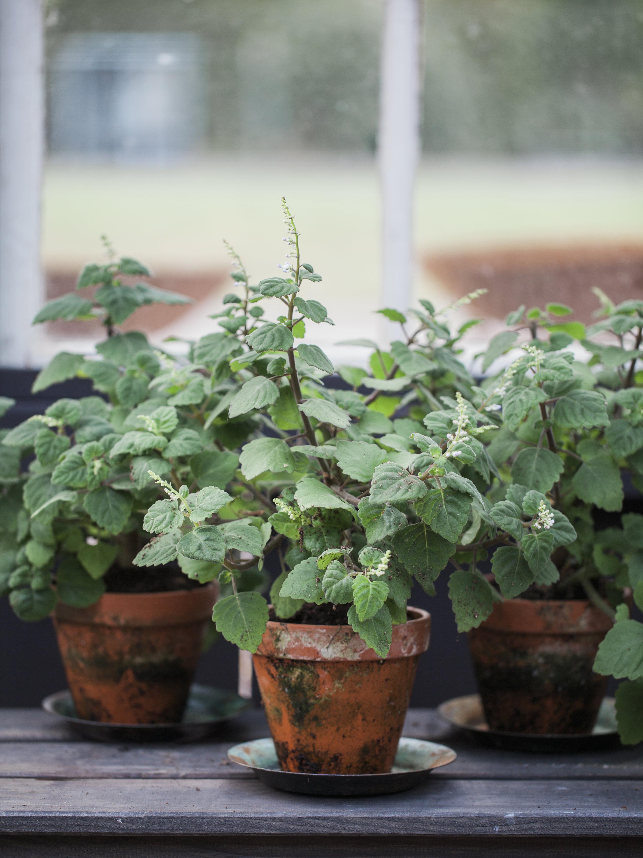 KRUKVÄXTER   Vi älskar krukväxter! Hos oss hittar ni ovanliga krukväxter, ofta i härligt patinerade lerkrukor. Vi åker regelbundet till Danmark och handplockar våra växer direkt hos odlare för att kunna erbjuda ett unikt sortiment.