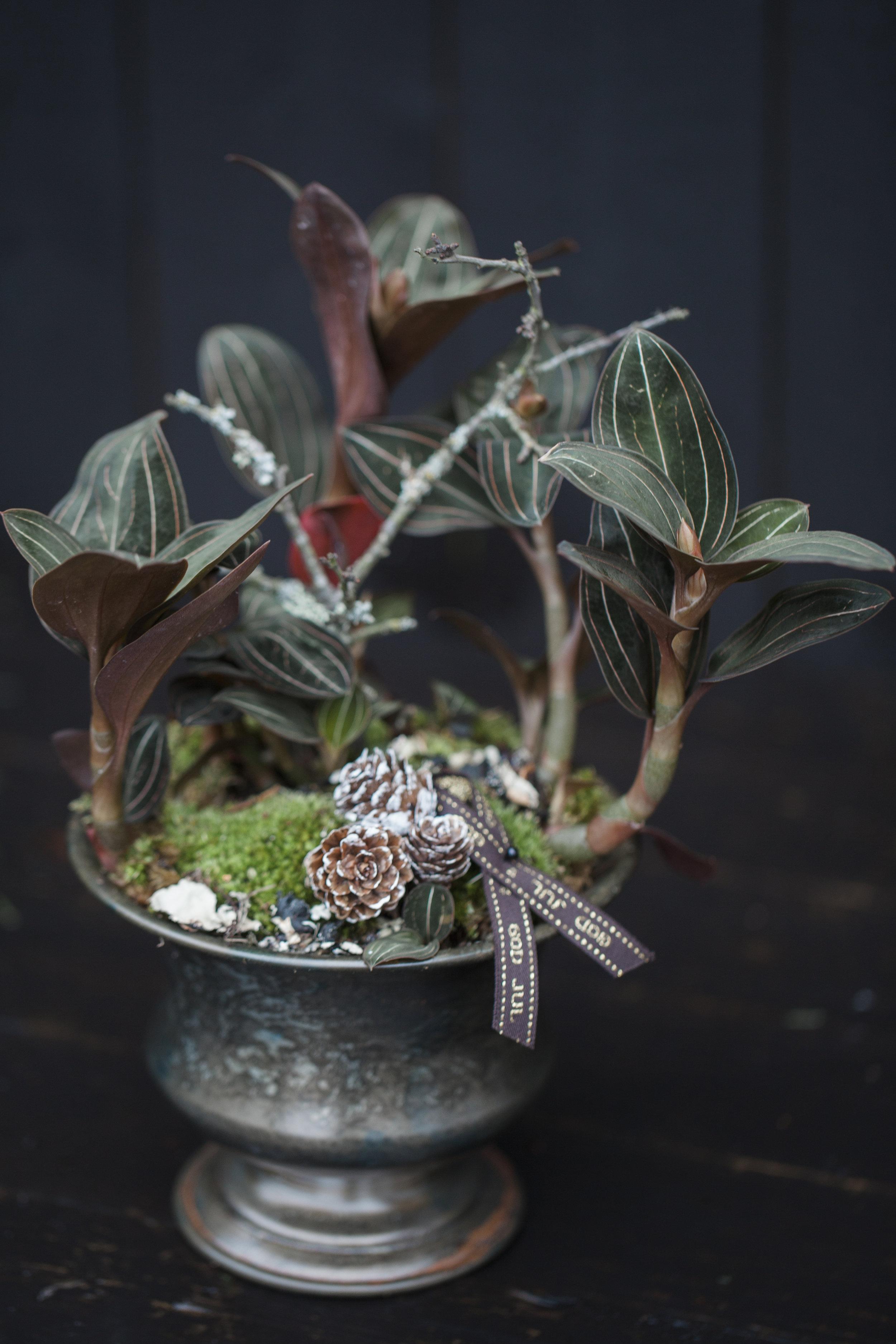 Orkidée 299:-