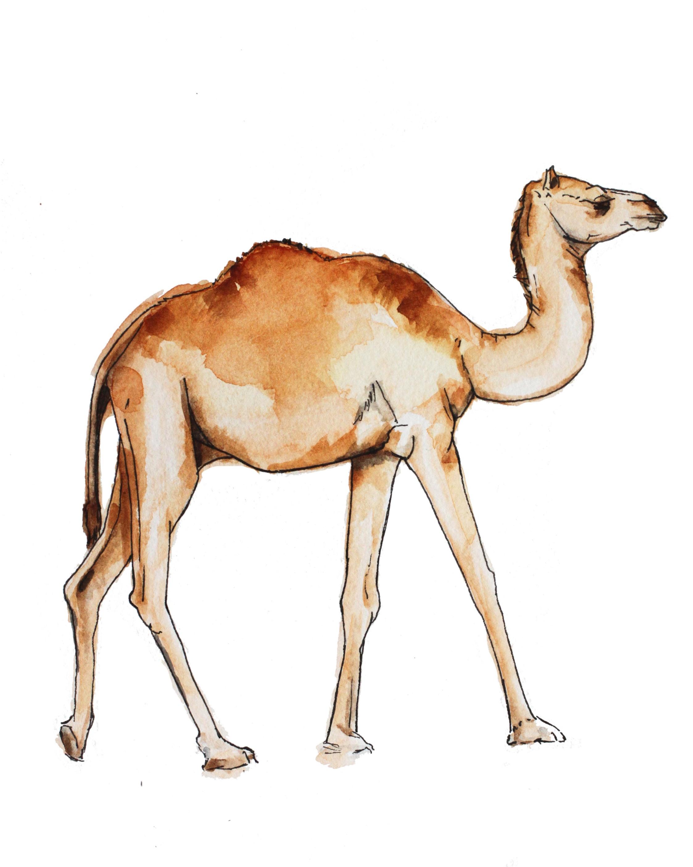 Camel 8x10_1.jpg