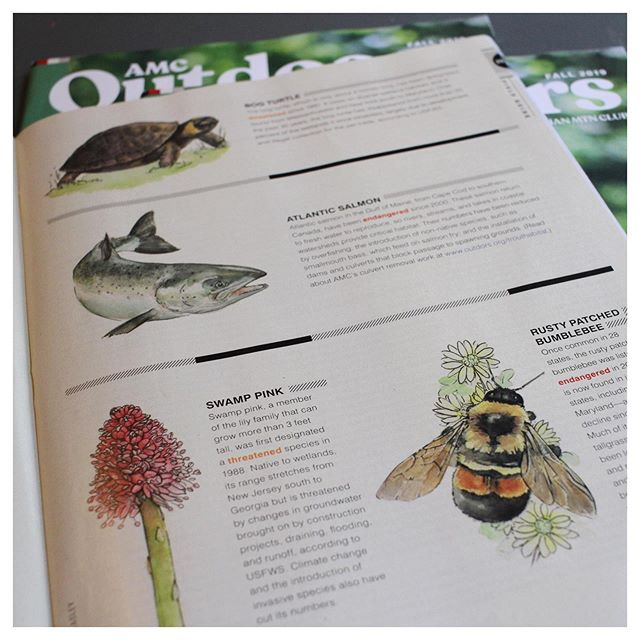 I enjoyed finally seeing some wildlife illustrations that I did over the summer for AMC Outdoors in print. My favorite illustration was the Rusty Patched Bumblebee.  Save the bees!  #savethebees #amcoutdoors #amcoutdoorsmagazine #wildlifeillustration #fieldguide #wildlifeart