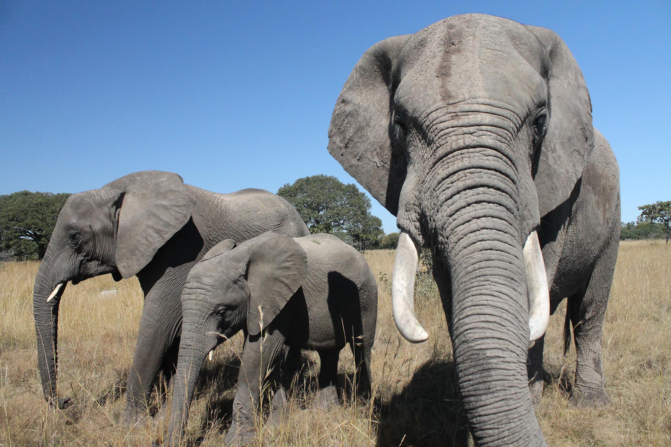 Elelphant ZimbabweSmall.jpg