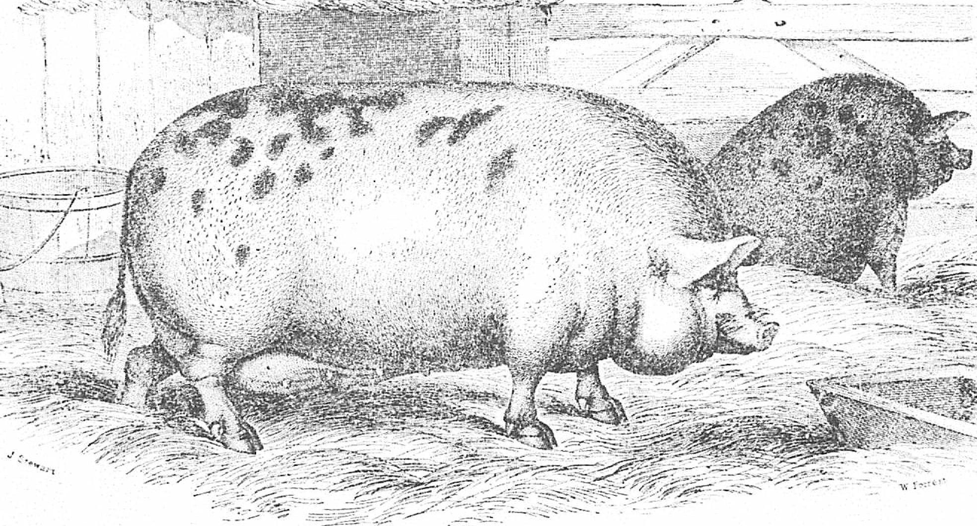San Juan Pig-2.jpg