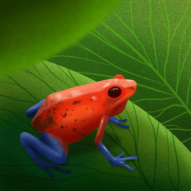 Decided to do another of the #10daysoffloraandfauna prompts as I enjoyed the last one. Was kinda nice to push myself out of my comfort zone. . The prompt was #tropical, so I went for a little colour frog 🐸 . This time I've included the timelapse as Instagram stories wont let me upload the koi carp one! . . . . #illustration #illustrator #illustrationchallenge #floraandfauna #procreate #frog #poisonfrog #poisondartfrog #digitalillustration #friendsofillustration #rainforest