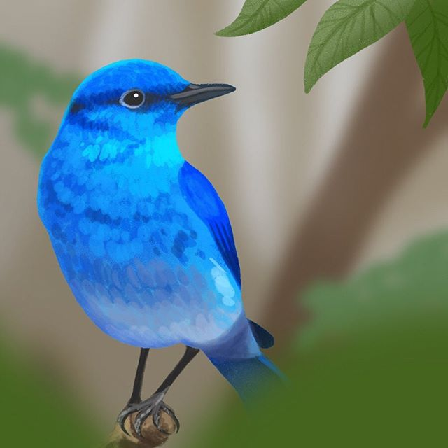 The third prompt for #10daysfloraandfauna was #mountain 🏔 I found a whole heap of amazing colourful mountain birds, but decided to go with this little fella; a mountain bluebird. . Only two more prompts to do and then normal service will be resumed 😂 I'm enjoying trying out something new though. . . . . . #floraandfauna #fauna #bluebird #mountainbluebird #bird #blue #mountainwildlife #illustration #illustrator #portrait #procreate #digitalart #friendsofillustration