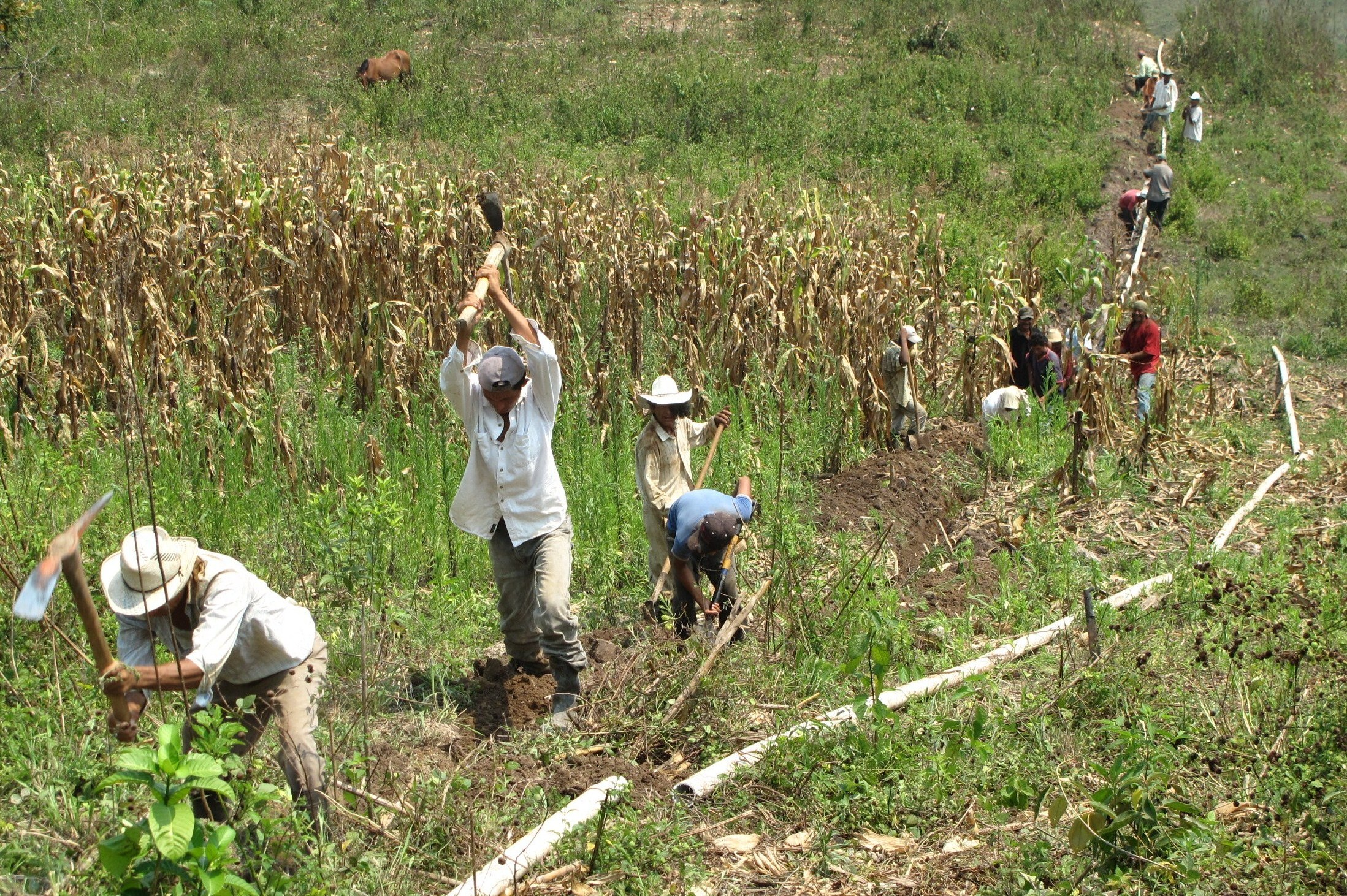 Volunteers from a Honduran community lay potable water pipes through a subsistence farmer's cornfield. Photo by Carylanna Taylor, 2009.
