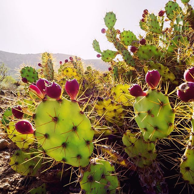 Nopal Cactus is a featured ingredient in most of my Mexican feasts. It's intriguing flavor is complemented by citrus and savory chili peppers. The prickly pear fruit of the Nopal blossoms has a bubblegum, watermelon, strawberry flavor and makes a wonderful syrup to add to cocktails or spritzers. A true treasure in the kitchen, I'm excited to share my cacti creations at the October 19th Dia de Los Muertos Celebration Dinner #gourmetkittyproductions #cactus #prickleypear #diadelosmuertos #gastronomy #locavore #farmersmarketfinds #inseasonnow #foodporn #mexicali #popupdinner #chef #truckee #tahoe #foodscene
