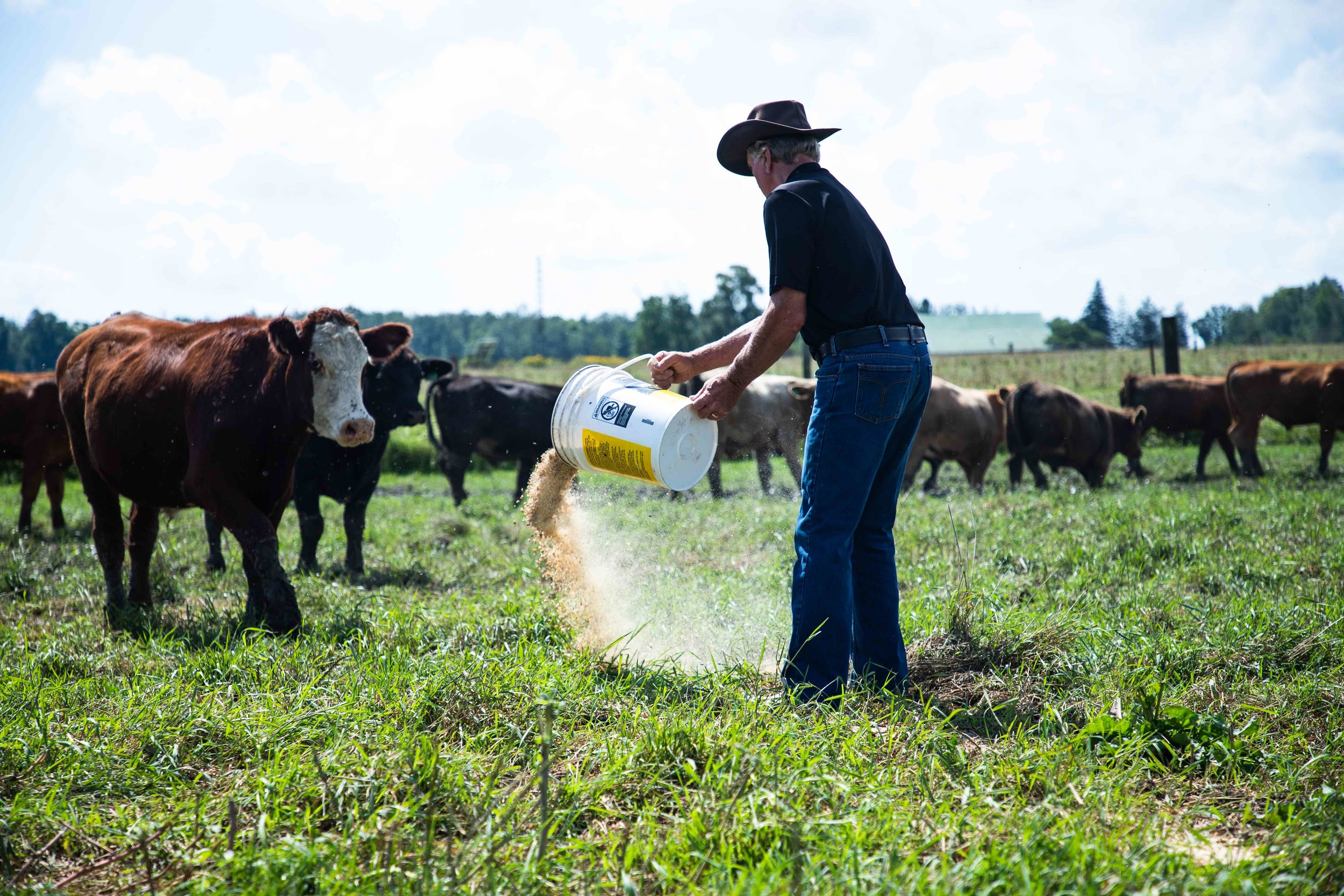 Jodie-Aldred-Photography-Chatham-Kent-Elgin-Middlesex-London-Ontario-Farm-Family-cattle-feed-corn.jpg